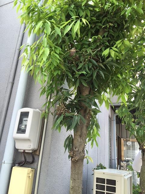 社長が枝を剪定していると奥のほうに鳩が巣をつくっていました。 卵を温めているようです。。。